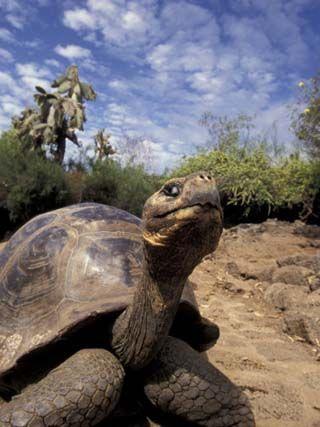 Giant Tortoise on Galapagos Islands, Ecuador