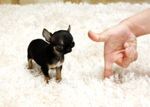 Chihuahua Puppies For Sale Ms Puppy Connection Chihuahua