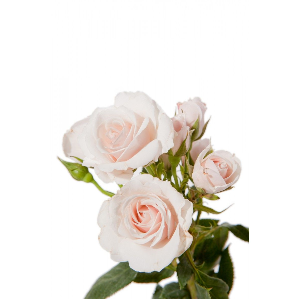 Home bulk roses peach roses - White Majolica Spray Roses