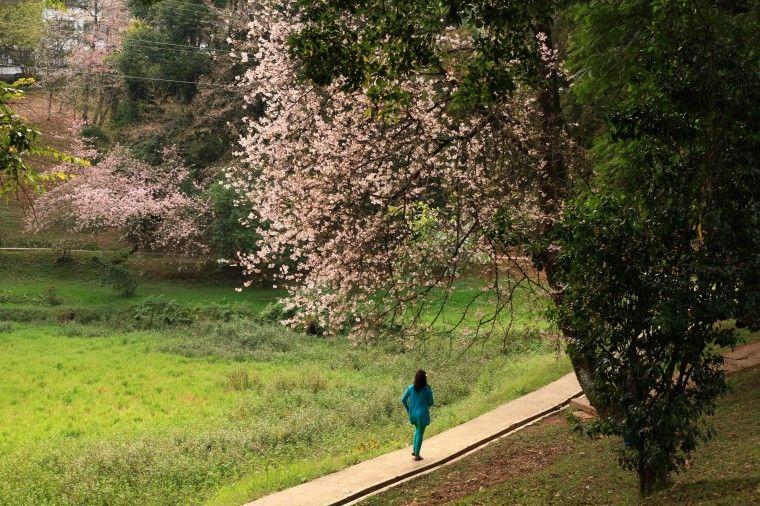 Cherry Blossoms In Shillong Shillong India Travel Guide Shillong India Tour
