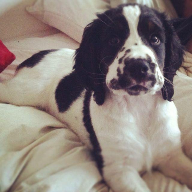 Good Morning Springer Spaniel Puppies Dog Breath Spaniel Breeds