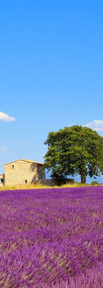 Lavender Fields in Mt. Ventoux near Valensole Village - Provence | France