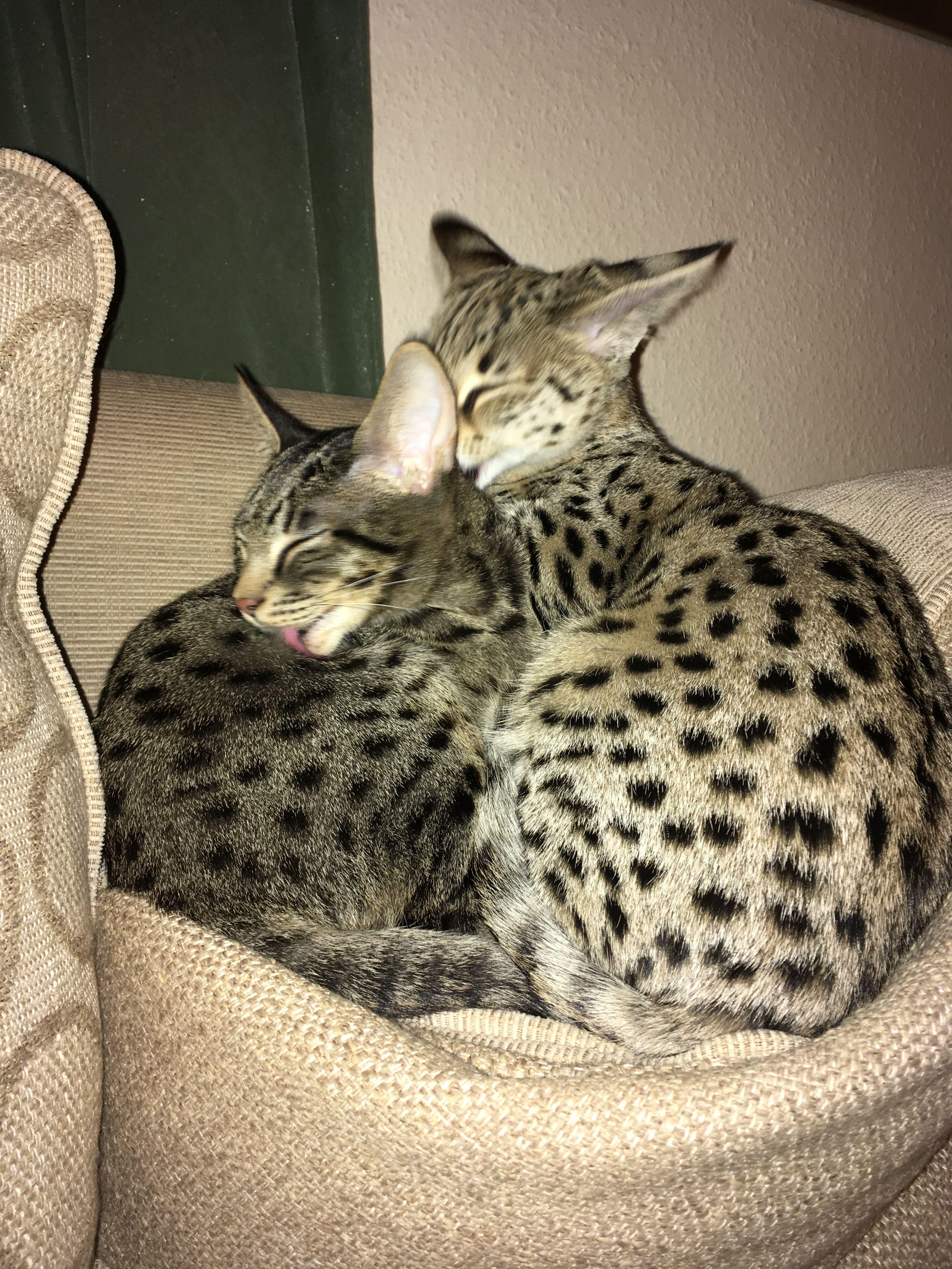 Savannah Kittens Cats F6 F1 Savannah Kitten Savannah Cat Cats