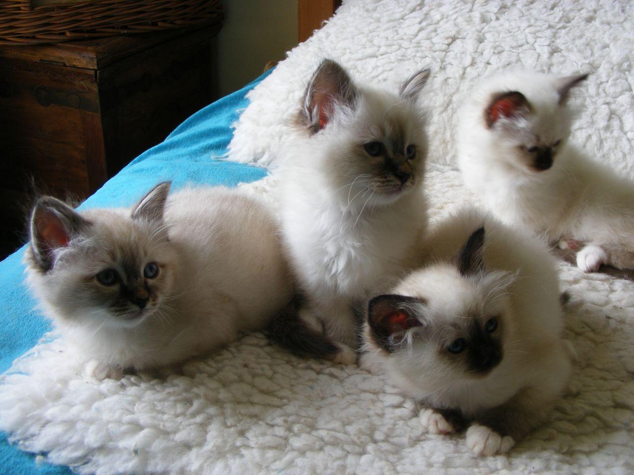 Birman Kittens Birman Cat Breed Pinterest