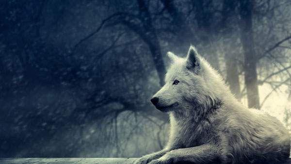 かっこいい動物の高画質な壁紙画像まとめ ライオン 狼 鷹など Wolf Pictures Wolf Animals