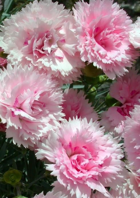 Perennial Pinks Candy Floss Dianthus Gratianopolitanus 6 8 Tall Blooms May July Soft Texture Beautiful Flowers Amazing Flowers Pretty Flowers