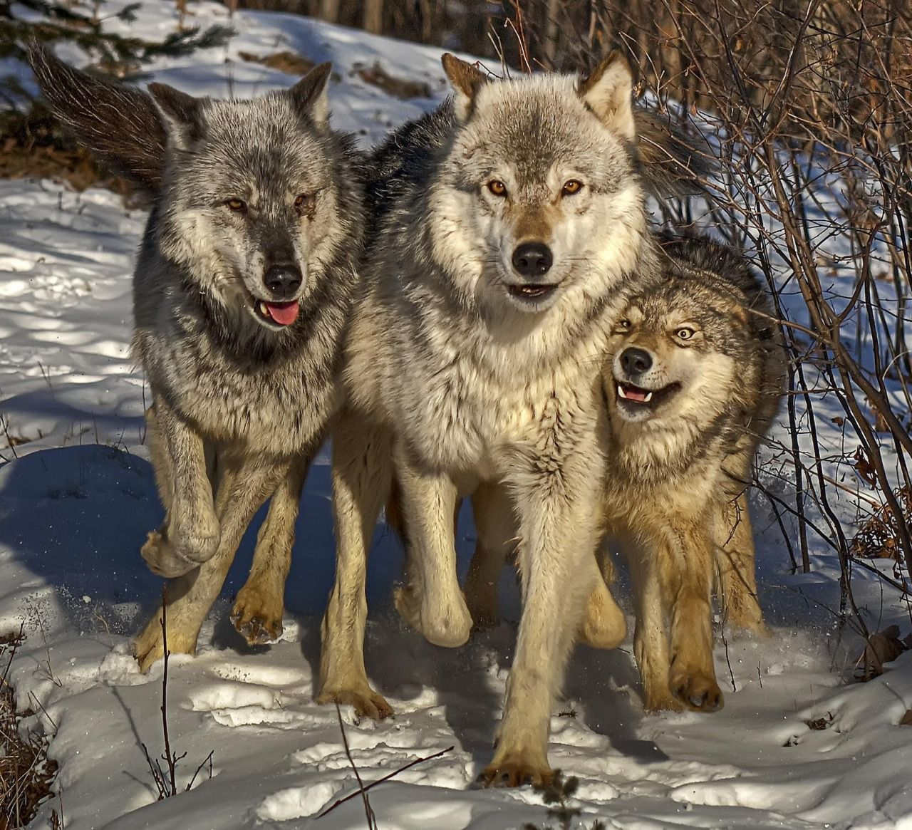 картинки волков исторические почечная недостаточность может