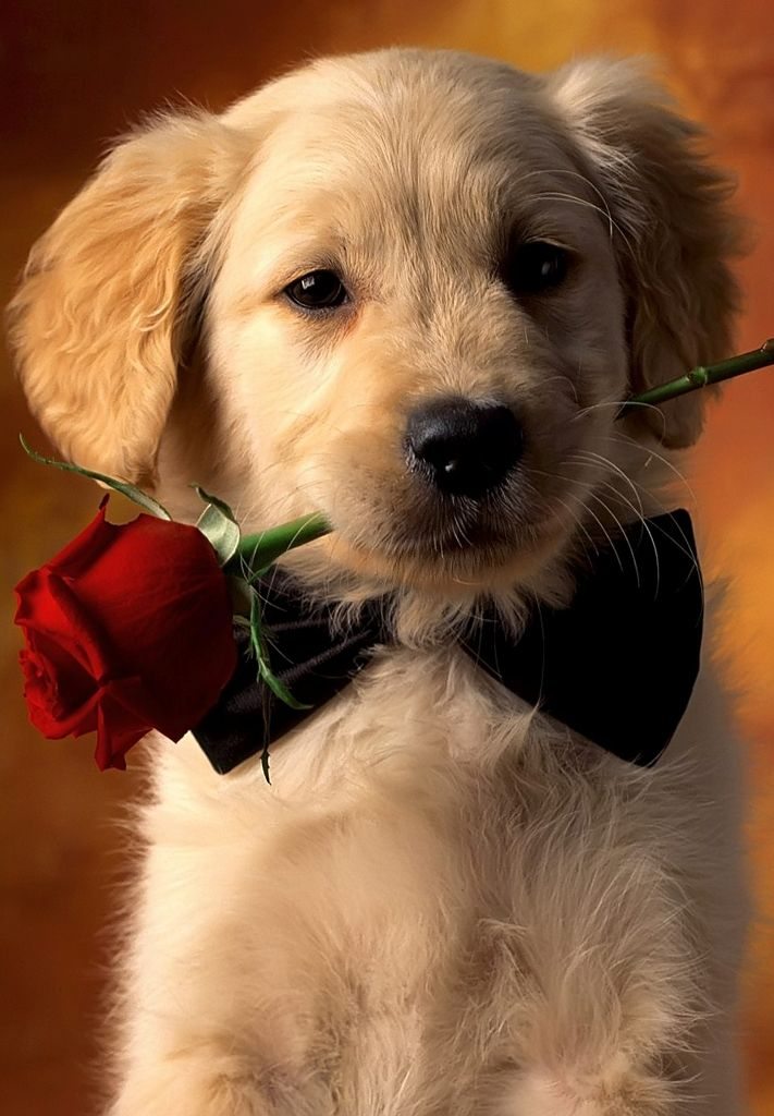 Romantic Dog Red Rose Wallpaper Iphone Iphonewallpapers
