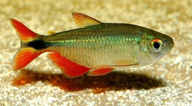 Buenos Aires Tetra These Things Are Like Miniature Piranhas They Should Be Kept In Schools In Ta Aquarium Fish Freshwater Aquarium Fish Freshwater Aquarium