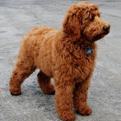 Goldendoodle At Red Dog Stable East Region Of Ottawa Red