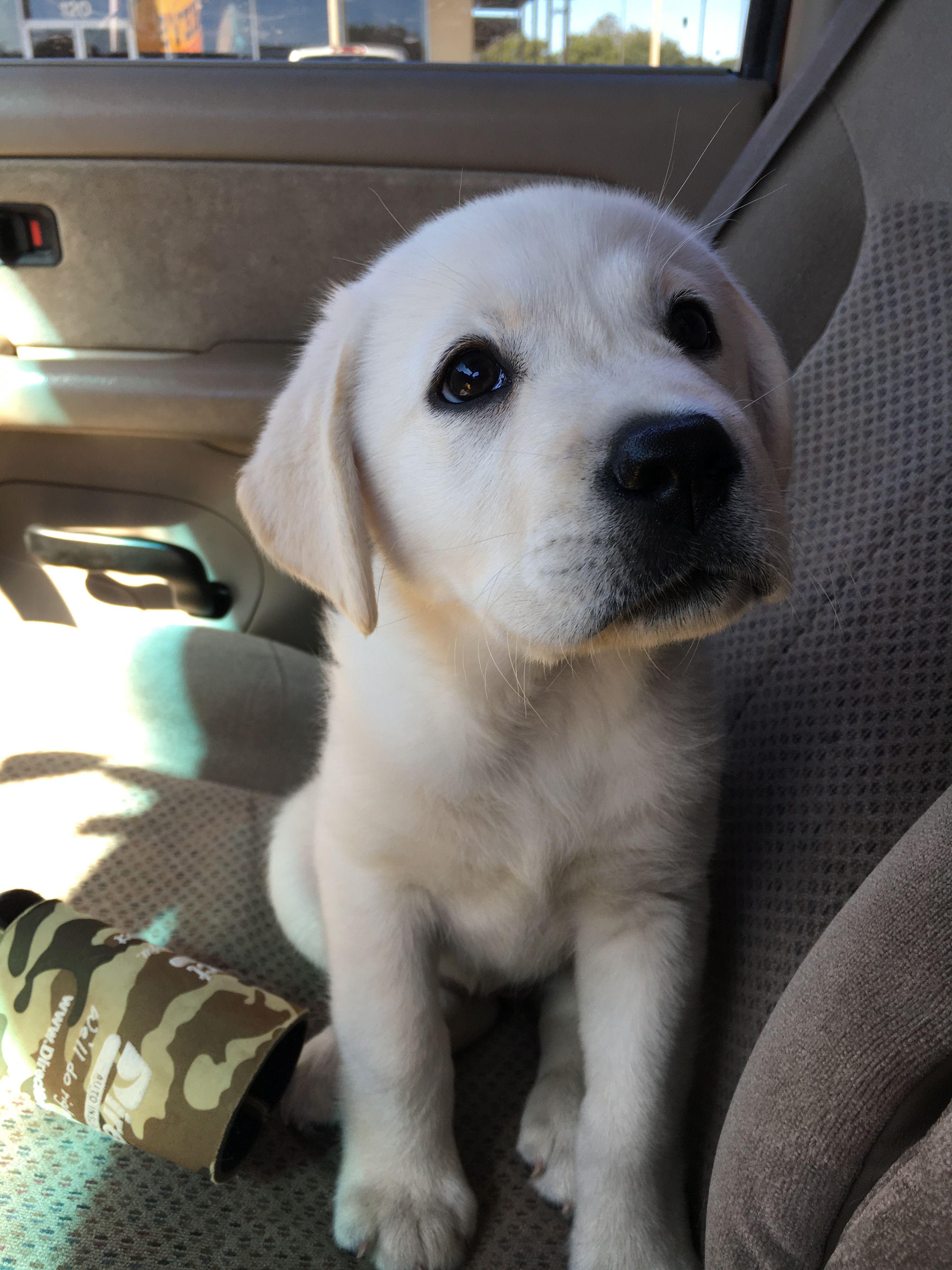 My Beautiful 10 Week Old White English Lab Puppy Reno
