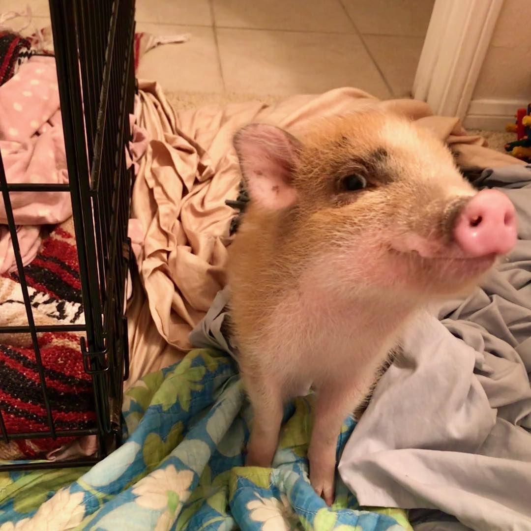 I may be young but Ive mastered the side eye. . . . . . . . . . . . . . . #minipig #pigsofinstagram #vegan #animaladdicts #micropig #vegansofig #potbellypig #babypig #pigsofig #vegandad #julianapig #piglet #babyanimals #piglets #friendnotfood #plantbased #pigstagram #cuteanimals #tinyanimals #rotini