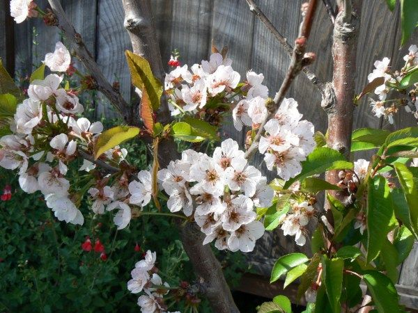 Lots Of Blossoms On Low Chill Royal Lee And Minnie Royal Cherry Trees In Southern California Cherry Tree Canned Cherries Southern California