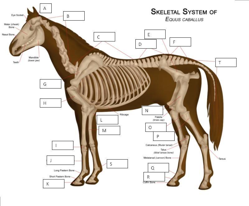 Quia skeletal system of a horse quiz horse drawings pinterest quia skeletal system of a horse quiz ccuart Images