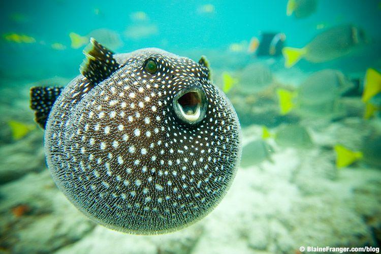 Guineafowl Pufferfish ...he just looks like a big ol' happy fish :D