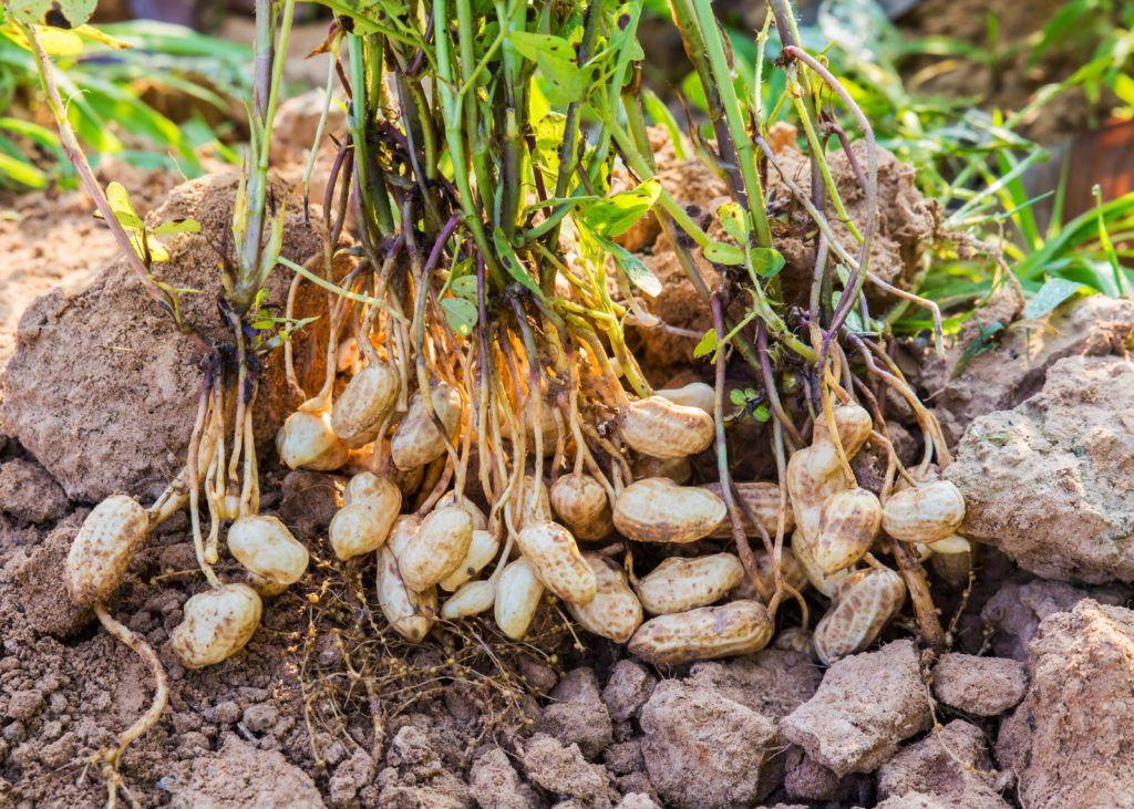 Erdnusspflanze Erdnusse Pflanzen Erdnuss Garten Pflanzen