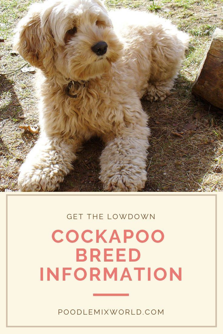 Cockapoo Breed Information in 2020 (With images) Poodle