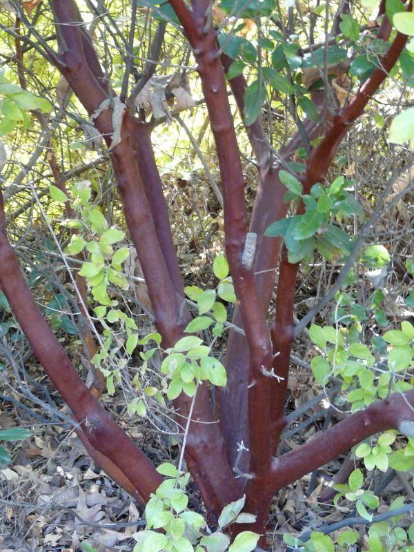 Arctostaphylos Manzanita Dr Hurd Tree Northern California Native Plants