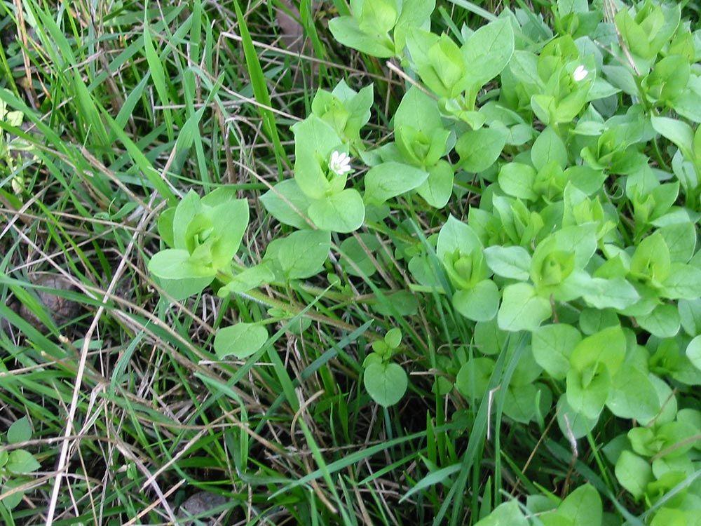 Centocchio erba paerina erbe spontanee erbacce buone for Officina di cucina idee albenga