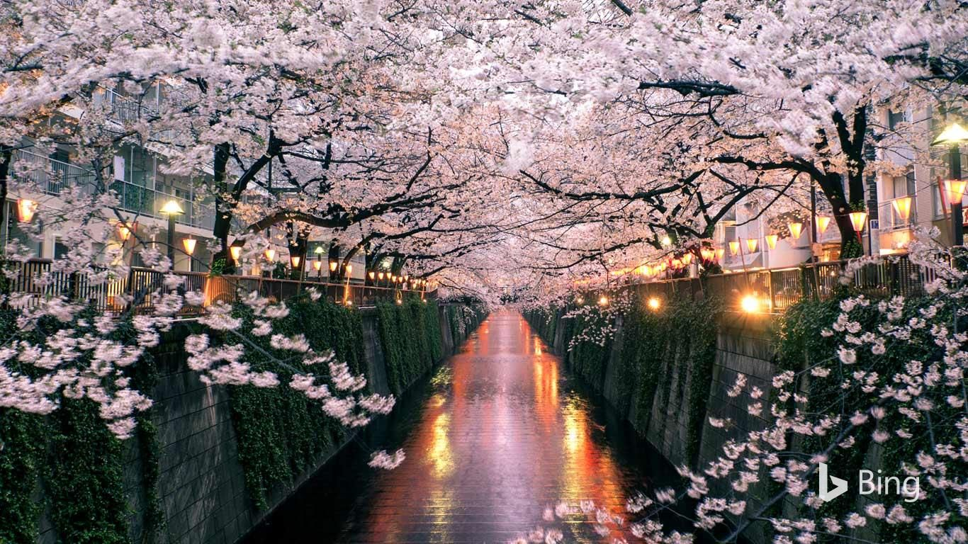 Cherry Blossom Season In Japan Is A Beloved Tradition That Involves Family Gathering Japan Cherry Blossom Festival Cherry Blossom Japan Cherry Blossom Festival