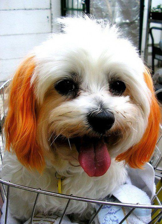 How To Dye A Dogs Hair At Home Using Kool Aid Dog And Animal