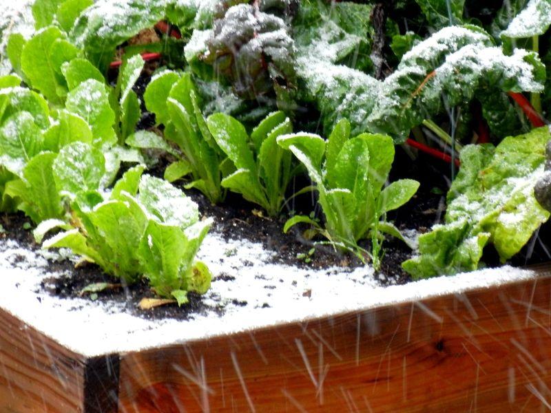 potager d hiver des l gumes productifs m me en hiver jardin potager d 39 hiver potager et. Black Bedroom Furniture Sets. Home Design Ideas