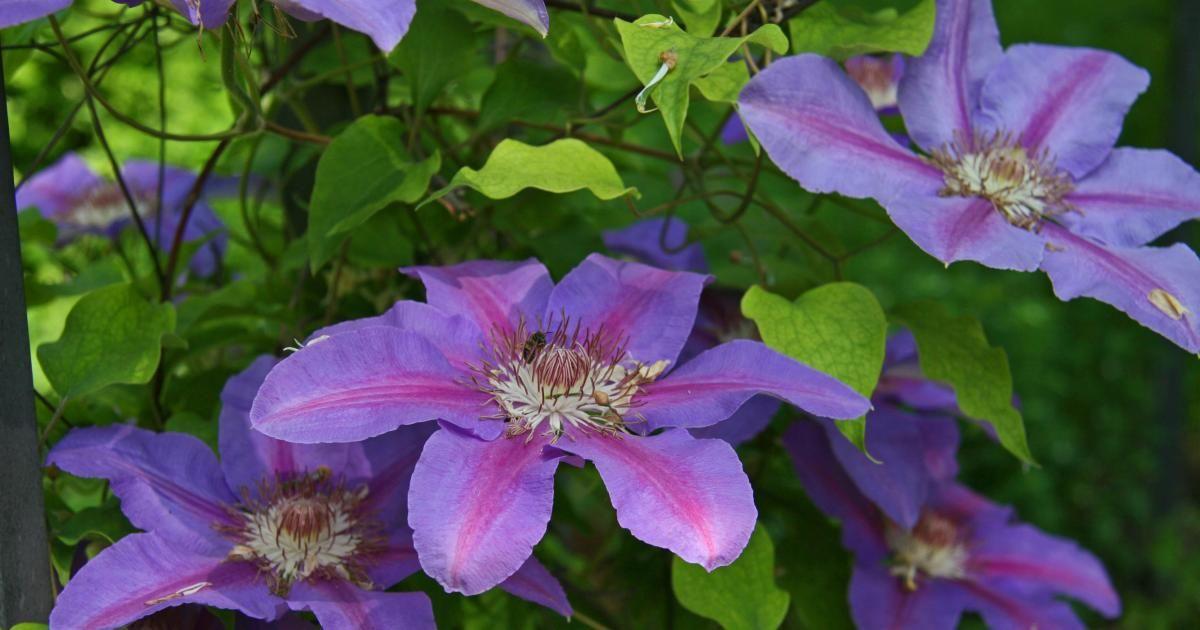 Schöne Kletterpflanzen kletterpflanzen pflanzen pflege und tipps kletterpflanzen