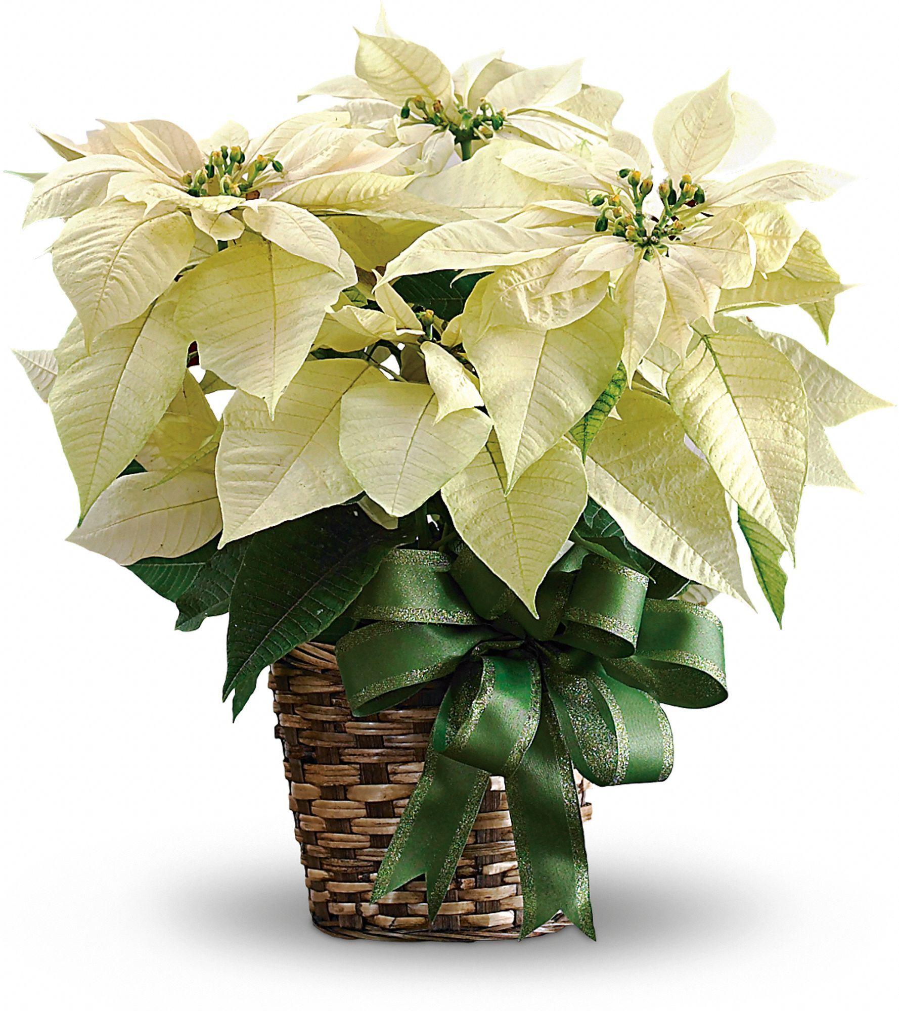 White Poinsettia (With images) Poinsettia plant