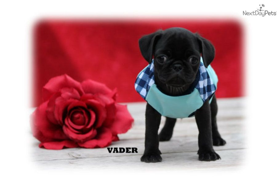 Pug Puppy For Sale Near Mcallen Edinburg Texas Fe486709 7611