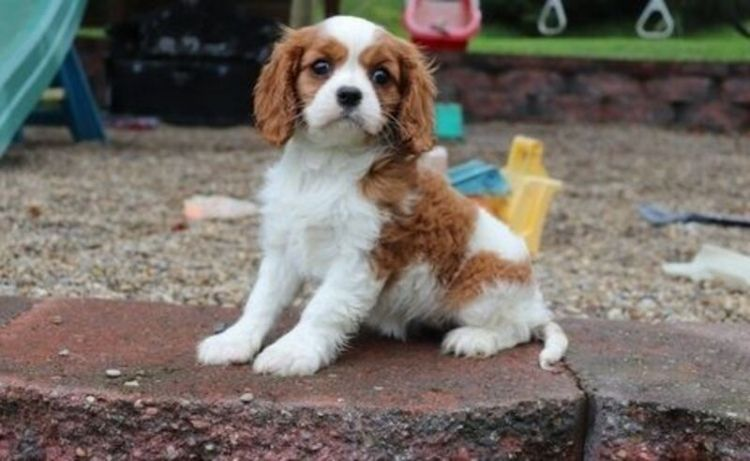 Beautiful Litter Cavalier King Charles Puppies Looking For There Forever Homes Very Well Socialised Br King Charles Puppy Yorkie Puppy Teacup Puppies Maltese