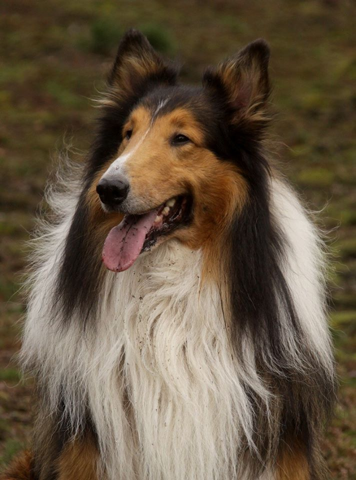 Gorgeous But A Grooming Nightmare Sheltie Dogs Rough Collie Collie Breeds