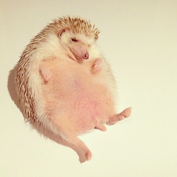 Darcy The Flying Hedgehog Darcy The Flying Hedgehog Is The - Darcy cutest hedgehog ever