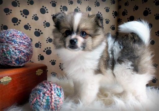 Pomeranian Puppy For Sale In Myrtle Beach Sc Adn 44930 On