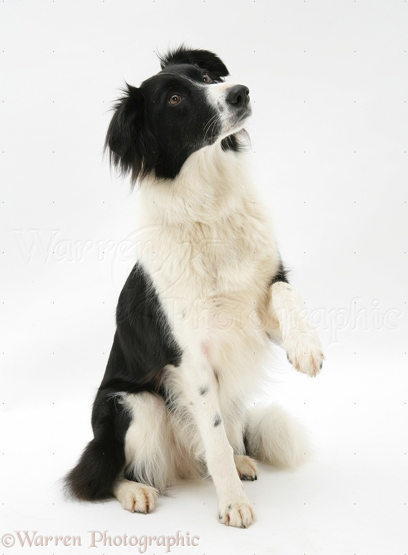 Border Collie With Paw Up Google Search Border Collie Collie Paw