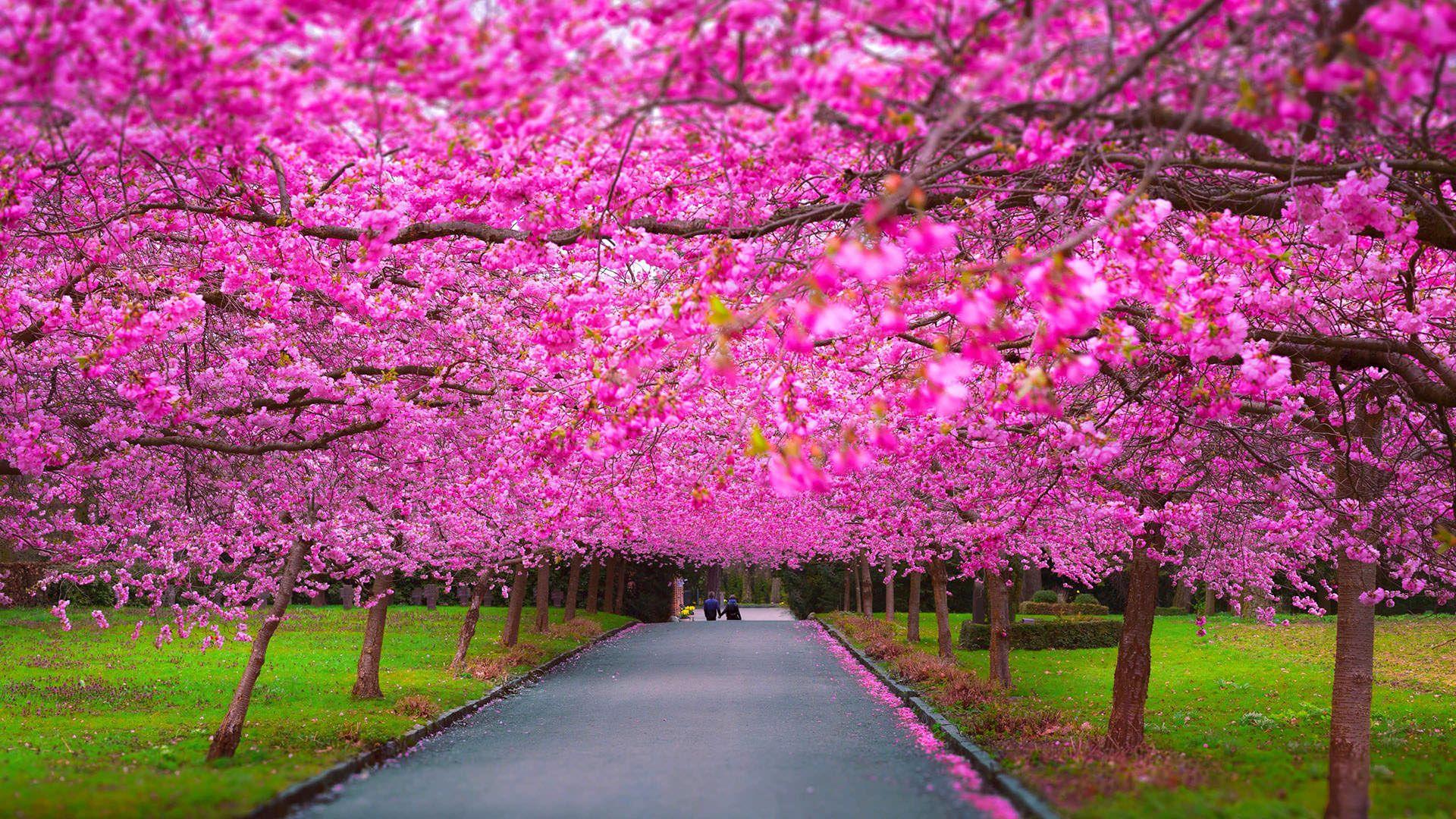 Beautiful Road With Beautiful Tree 1920x1080 Spring Wallpaper Hd Spring Scenery Spring Wallpaper