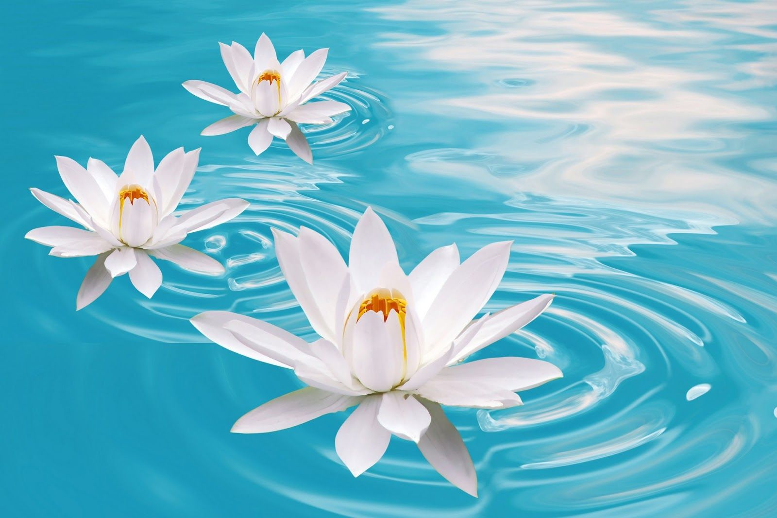 Flower Wallpaper Lotus Wallpaper flower desktop HD Desktop HD