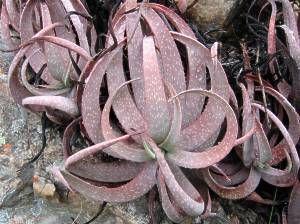aloe pictafolia - Google Search