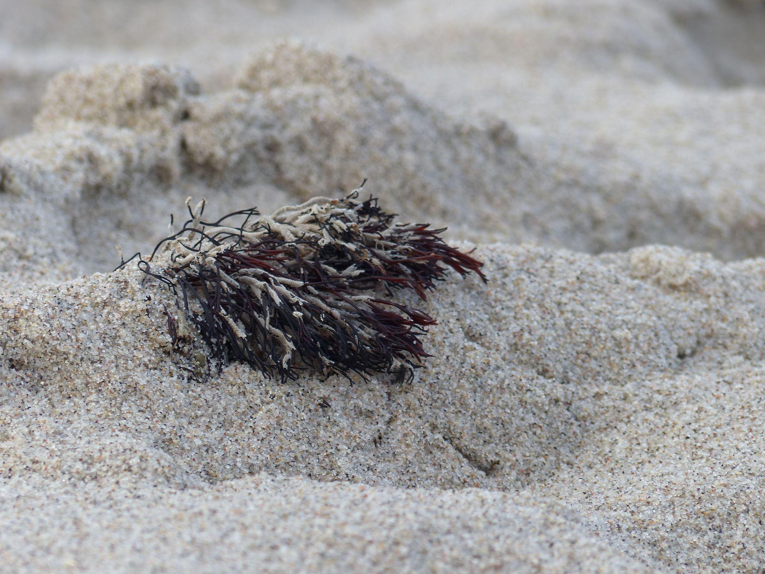 Raumausstatter Kiel strand sand ostsee koralle alge braun entdeckung beim