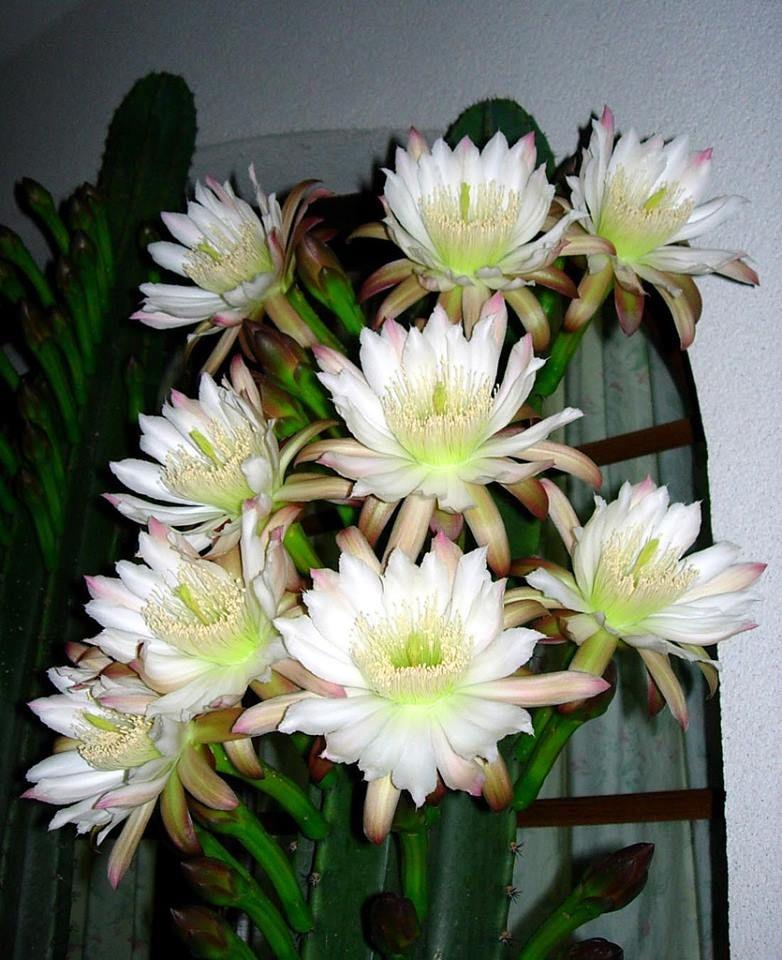 Cereus peruvianus cactaceas y suculentas pinterest for Cactaceas y suculentas