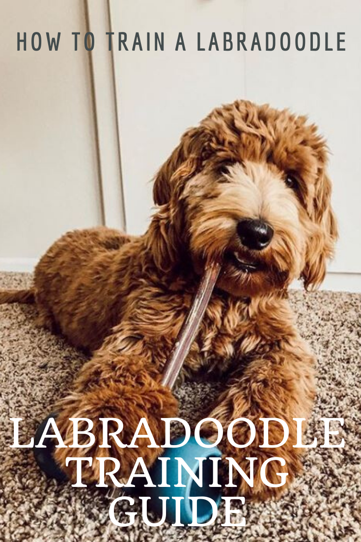 Labradoodle Training Guide Learn How To Train Your Labradoodle Labradoodle Training Labradoodle Labradoodle Puppy