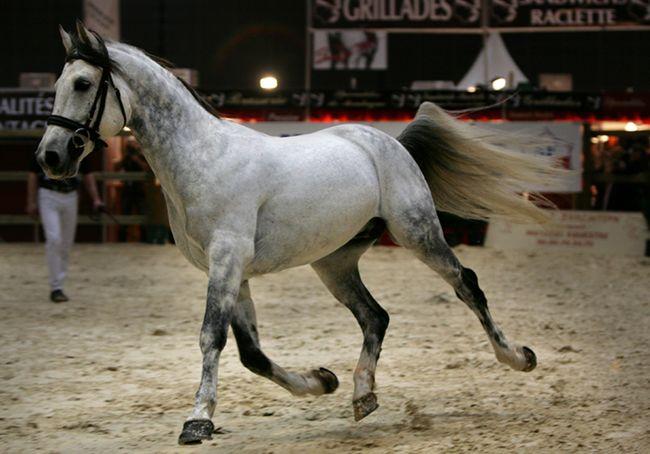 Shagya Arabian stallion Indigo de Crouz