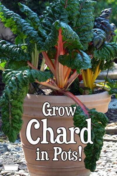 Growing Chard In Containers Container Gardening Plants 640 x 480
