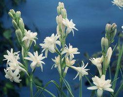 Rosa 'Mountbatten' - Plants - gardenersworld.com