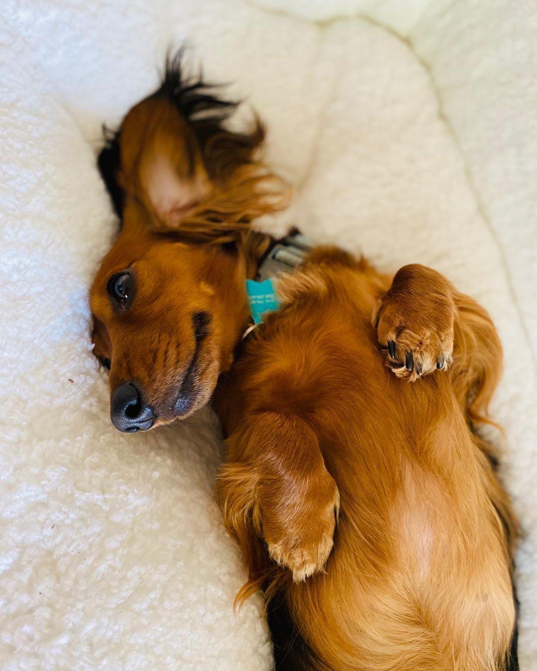 Lazy Sunday dachshund dachshundsofinstagram sausagedog