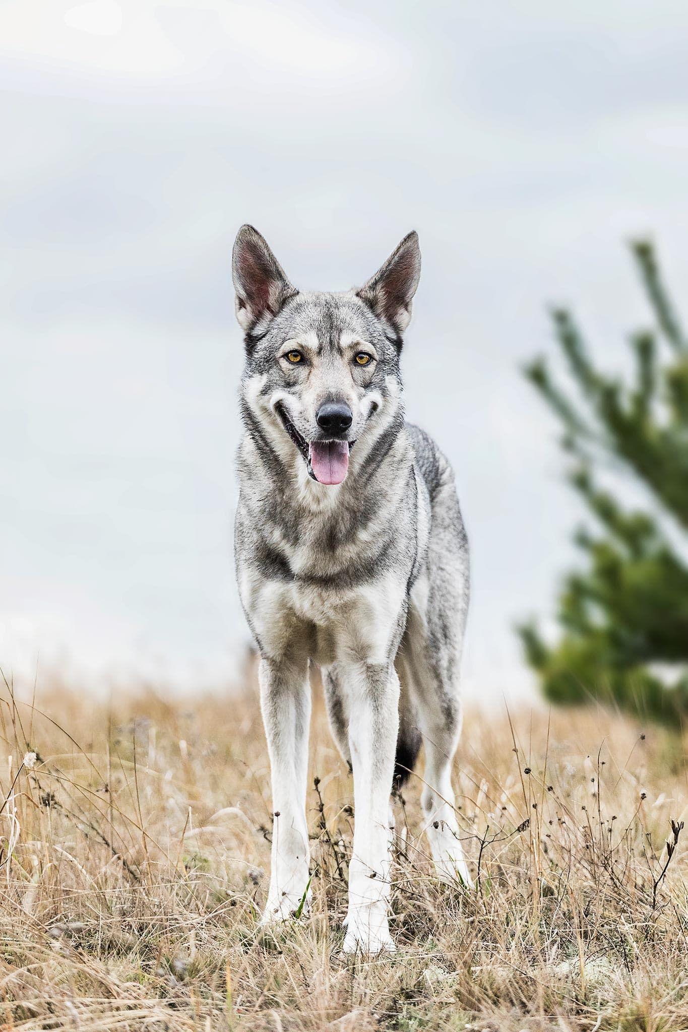 Hundefotografie Potsdam Sophia Zoike Photography Hunde Hundefotografie Wolf Hunde