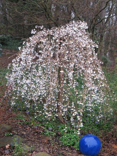 Small flowering trees weeping flowering cherry for Flowering dwarf trees for landscaping