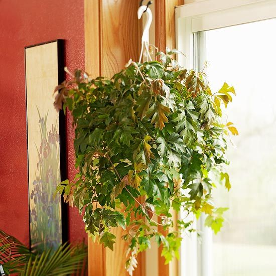 24 of the easiest houseplants you can grow ivy. Black Bedroom Furniture Sets. Home Design Ideas