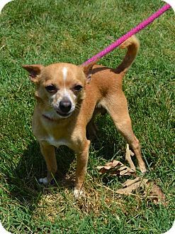 Pin By Diane Litter On Adopt Pets Chihuahua Pet Adoption
