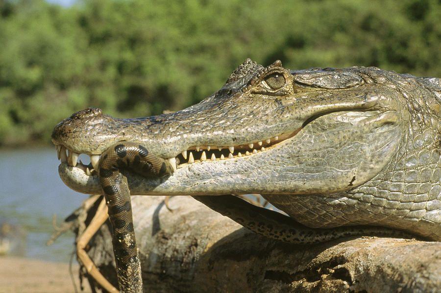 хозяев картинки крокодилов и змей преддверии