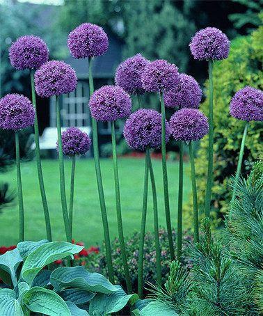 Giant Gladiator Allium Bulb Set Of Three Allium Flowers Bulb Flowers Plants